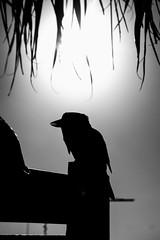 Kookaburra 1 (J.W.F Photography Portfolio) Tags: trees holiday birds animals sign paradise wildlife australian palm cruiseship moretonisland kookaburra