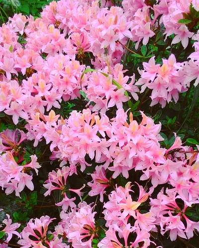 Every year I am waiting impatiently for this #beauty. Nothing could clear the head as the #morningwalk with my 🐕, listening the 🐦 and looking at the beauty of nature 💖 I wish you lovely day! ✌😘 #azaleas #pink #flowe