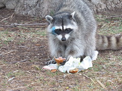 raccoon eating subway- a new mascot maybe- point vicente (gskipperii) Tags: animal fauna trash mammal losangeles cool day wildlife fat raccoon southerncalifornia sneakey pv palosverdes scavenging opportunist pointvicente opportunistic