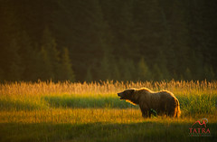 GrizzlyBear_female_backlit (Tatra Photography) Tags: usa cute grass sunshine alaska female backlight dawn warm adult meadow sunny cuddly vegetation backlit contemplative contemplating brownbear grizzlybear sedge rimlight coastalflats rimlit lakeclarknationalpark sedgemeadow apexpredator ursusarctushorribilis