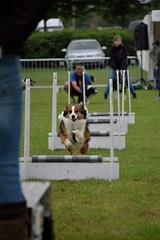 Banbury Cross Flyball - Racing In