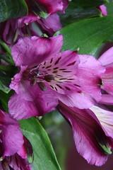 DSC_1918 Alstroemeria (PeaTJay) Tags: flowers plants macro nature gardens fauna reading flora indoors micro closeups berkshire alstroemeria lowerearley nikond750