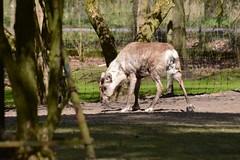Hausrentier im Tierpark Neumnster (Ulli J.) Tags: germany reindeer deutschland zoo ren tyskland allemagne rentier duitsland schleswigholstein renne neumnster rendier rensdyr tierparkneumnster
