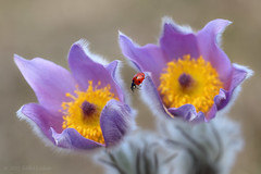 Big step for a small ladybird (ildiklaskay) Tags: flower macro nature floral fleur insect hungary ladybird ladybug blume insekt virg insecte coccinelle marienkfer rovar lepke pulsatillagrandis grosekuhschelle greatpasqueflower
