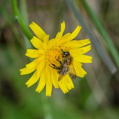 Solitary bee (Matchman Devon) Tags: south efford marsh aveton gifford solitary bee hams devon