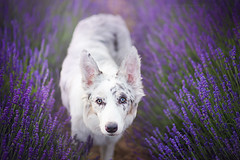 Princess Cirilla in Lavender  (Alicja Zmysowska) Tags: dog dogs slate merle pet pets border collie puppy puppies whitew white fox foxes wold wolves wolf lavender summer flowers purple violet
