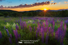 Lupine Lumination (Bill Wakeley) Tags: morning flowers sun mountains floral sunrise spring rainbow glow purple newengland newhampshire franconia ethereal glowing mornings pastures wildflowers rainbows sunrises pastoral wildflower springflowers purpleflower lupine starburst warmlight thesun purpleflowers sugarhill lupines northernnewengland springflower presidentialrange thewhitemountains sceniclandscape sceniclandscapes newenglandlandscape floweringlandscape floweringlandscapes