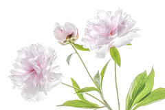 Peonies (Mandy Disher) Tags: pink summer plant flower floral garden peony highkey
