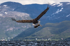 Sea eagle fishing in the Arctic Ocean (mikanuorva) Tags: ocean sea mountain fish norway landscape fishing eagle arctic lintu norja merikotka jmeri