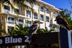 Kookaburra 4 (J.W.F Photography Portfolio) Tags: trees holiday birds animals sign paradise wildlife australian palm cruiseship moretonisland kookaburra