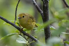 Yellow Warbler, Monchy Road (frank.king2014) Tags: ca canada gander yellowwarbler newfoundlandandlabrador