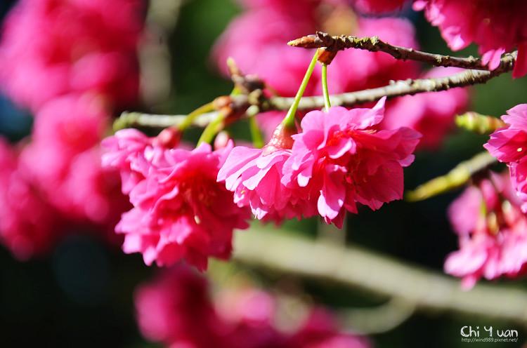 九族文化村櫻花祭-日16.jpg
