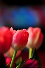 Same subject - different day (59-366) (nikkorglass) Tags: pink blue macro green home closeup nikon dof purple tulips sweden bokeh rosa lila lilac micro sverige february nikkor f28 vr creamy 2012 hemma februari bl d300 grn nrbild tulpaner 366 105mmvr nikkorglass 59366 366project krmig