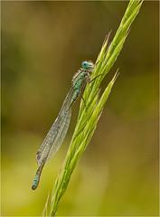 Teneral Blue Tail Damselfly (Chris Beard - Images) Tags: blue green sunrise insect dawn damselfly odonata bluetail bluetaildamselfly