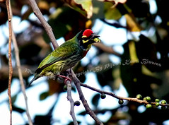 CRIMSONTHROATED BARBET [Megalaima haemacephala] (PIJUSH KANTI BISWAS) Tags: bird crimson smith copper briji coppersmith barbet garia crimsonthroated basantbauri