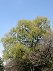 #1613 weeping willow (シダレヤナギ) (Nemo's great uncle) Tags: tokyo flora willow 東京 weepingwillow weeping salix kinutapark 砧公園 世田谷区 setagayaku babylonica salixbabylonica シダレヤナギ 枝垂柳