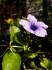 Toi ting (popping pod) (som300) Tags: toiting poppingpod wildflower flower plant blossom motorola zn5