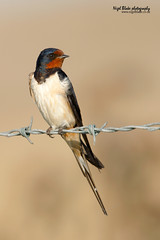 Barn Swallow, Hirundo rustica,  perched on barbed wire fence. (Nigel Blake, 2 million views Thankyou!) Tags: uk blue red summer england colour brick bird history nature birds electric barn canon fence photography is wire natural steel wildlife norfolk western migratory perched swallow blake nigel barbed ornithology f4 converter migrant rustica passeriformes hirundo hirundinidae hirundine 14x 600mm eos1dsmkiii palearctic