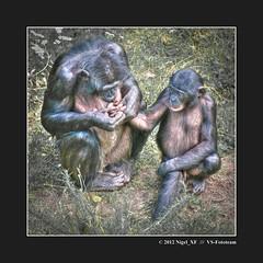 ... mothers love (nigel_xf) Tags: nikon monkeys nigel apes apenheul affen primates d300 primaten nikond300 nigelxf vsfototeam