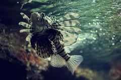 Black swan (Stuff I See Sometimes) Tags: fish rock sex aquarium shark shrimp simpsons fishtank octopus eggs requin crayfish poisson enfant rocher oeufs crevette algue ecrevisse pouple congre europeanconger roussette aquariumdeparis megashark megasharkvsgiantoctopus