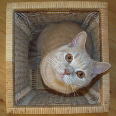 Tallis - Cat in a Basket (Phillip Fayers) Tags: cat tallis shorthair british