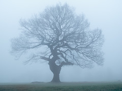 Misty Mighty Tree (PeterChad) Tags: tree misty fog oak power god large growth strength tall shape mighty fortitude maturity stability