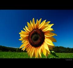 not all that glitters is gold, but some is (elmofoto) Tags: blue summer green field yellow rural happy fav50 michigan fav20 bee sunflower monday fav30 gettyimages 1000v fav10 fav40 fav60 projectthrowback elmofoto lorenzomontezemolo