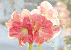 Happy Valentine's Day! (bigbrowneyez) Tags: pink flowers light reflection texture love beautiful dof bokeh stripes gorgeous details joy kisses romance gift amaryllis transparency romantic bouquet elegant delicate breathtaking classy bemine pinklipstick happyvalentinesday ringexcellence