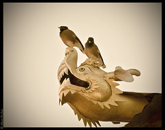 The Itchy Nose (aleemsm) Tags: two birds yellow golden eyes dragon bhutan head monastery 02 brave perched vignette mynah
