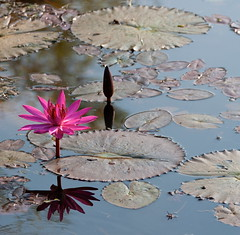 Floating Perfection (edwindejongh) Tags: flower reflection leaves square star pond asia cambodge cambodia lotus elegant simple leafs vijver elegance cambodja ster weerspiegeling vierkant openandclosed refelectie edwindejongh openendicht lotusblad latusbladeren