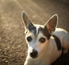 (~Abby) Tags: old light sunset portrait dog pet sun sunlight sunshine animal canon lens small elderly lensflare flare rays ratterrier 30d sigma30mm14 blackandwhitespotted
