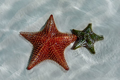 Starfish on the Beach (Lynn McFulton) Tags: water sunshine sand starfish cuba pilarbeach 3652012 2010yip