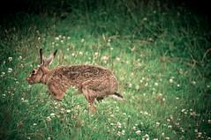Got ya (MMortAH) Tags: nikon hare wildlife northumberland alnmouth getty nikkor 28300mm d90