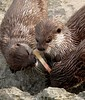 Can You Guess The Flavour Boys ? (Church Mouse 07) Tags: uk wildlife british lollystick churchmouse07 ottersblackpoolzoo