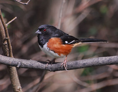 Male Eastern Towhee in a pose for me - High Point North Carolina (fazer53) Tags: bird nature birds photography nikon wildlife photographers northcarolina highpoint explore carolina d200 ornithology towhee easterntowhee guilfordcounty 70300mmvr photographersshowcase fazer53
