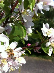 Primavera / Spring / Frhling (pbeppler) Tags: seattle wild primavera apple fruit washington spring flor stock sidewalk ornamental blte baum corderosa apfel apfelbaum crabapple calada florido ma rosinha plen fruteira rosado ptala frling stateofwashington ornamentaltree ebbl rosadinho rvoreornamental rosabranco eppl fruitingtree brancorosa caladadepasseio madomato apfelstock ppelstock pplstock bbelstock bblstock epplstock eppelstock ebbelstock ebblstock macieirasilvestre silvestrewildeapfelbaum ppl pplboom epplboom bbl bbleboom wildapfelblhte wildpplblihte wildapfelblumen flordemacieirabrava flordemacieirabraba macieirabrava holzbapfel holzppel holzppl holzeppel holzeppl holzbbl holzbbel fussgang macierabraba macieiraornamental
