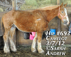 Hip #693 (Rock and Racehorses) Tags: amish belgian camelot draft workhorse feedlot ska0810