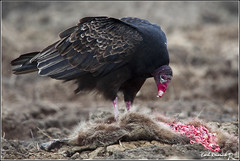 "Turkey Vulture (20120310-2200) (Earl Reinink) Tags: ontario canada bird art nature birds photography landscapes nikon with canadian niagara raptor earl vulture bif ""bird ""nikon ""niagara photography"" prey"" ""birds ""nature ontario"" ""landscape ""fine ""earl peninsula"" flight"" lenses"" ""turkey d3"" vulture"" d3s"" reinink"""