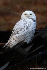 Snowy Owl - Bird of 2012? (gcampbellphoto) Tags: bird nature snowy wildlife arctic owl northernireland rarity irishwildlife gcampbellphotocouk