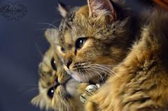 A L O N E (Aishah Abdullah) Tags: cat nikon الله سبحان وحده هدوء قطط السعوديه جده لحالي وحيده وحدتها d5100 رمزيات
