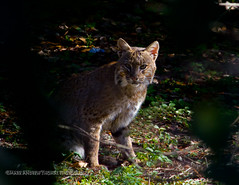 Female Bobcat (DirectX1) Tags: travel nature outdoors florida wildlife scenic bigcat swamp wetlands everglades bobcat bigcats bobcats naturephotography wildlifephotography bobcatphoto