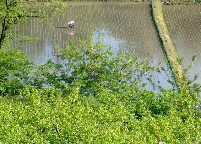 rice planting. 田植え