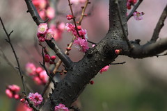 Red plum blossom-50 (likerain2011) Tags: china flowers flower color macro nature horizontal closeup canon spring blossom outdoor plum begonia nanjing fantasticflower mimamorflowers 5d2 panoramafotogrfico