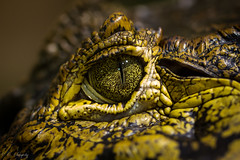 Sauron (nemi1968) Tags: macro green eye yellow closeup canon alligator crocodile canoneos kaiman ef100mm macro100mm osloreptilpark canon60d canoneos60d brillekaiman