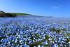 Nemophila (♥ Spice (^_^)) Tags: japan canon hill 日本 花 風景 公園 nemophila 海浜公園 岡 canoneos5dmarkii キャノン ジャパン ネモフィラ