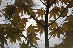 . (dichohecho) Tags: trees film leaves yellow analog japanesemaple acer analogue pentaxmesuper fujisuperia400 westonbirtarboretum ubuphotosoc roll59 dichohecho