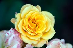 573 - Pareille à un soleil : la Rose (-Petite Fleur-) Tags: plant flower nature fleur rose jaune plante natureza perfectpetals awesomeblossoms weloveallflowers
