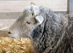 Mum of Baby Lambs below. (Tim Walton Photography.) Tags: pen mum lambs shootershillfarm sonya57