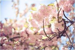 #4 (Exposed Fragments) Tags: pink flowers rose japan fleurs dof depthoffield cherryblossoms printemps japon cherrytree springtime cerisier d600
