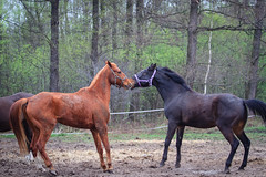 2013_Dudus, konie etc-33.jpg (rafax1977) Tags: horses horse pet pets animal animals canon fun countryside spring europe day village eu poland 7d stable jumps paddock galloping canon70200f28